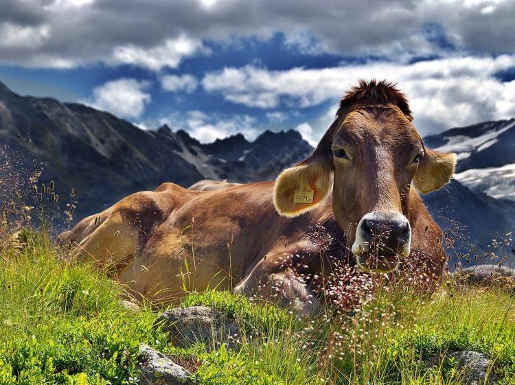 cow-1287866_1280