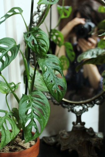 animal,sensible,blog,monstera,adansonii,cnenanthe,plantes,photo,miroir