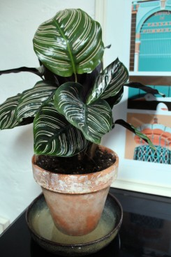 animal,sensible,calathea,ornata,plantes,jungle,green,blog,illustration