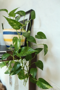 animal,sensible,blog,instagram,plant,pothos,golden,tour,plante,jungle,urbaine