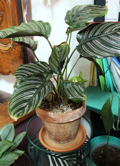 animal,sensible,blog,instagram,plant,tour,plante,jungle,urbaine,étagère,calathea,ornata