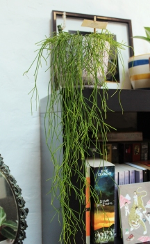 animal,sensible,blog,instagram,plant,tour,plante,jungle,urbaine,rhipsalis,bibliothèque