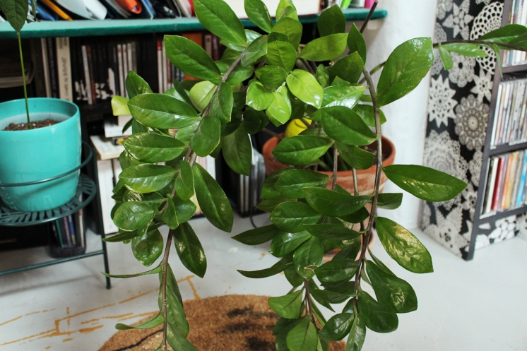 animal,sensible,blog,instagram,plant,zamioculcas,zamifolia,plante,jungle,urbaine